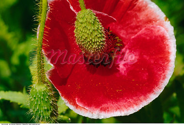 Close-Up of Poppy Flower and Seed Pod    Stock Photo - Premium Rights-Managed, Artist: Freeman Patterson, Code: 700-00515439