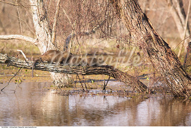 Family of Nutria, Atchafalaya Basin, Louisiana, USA    Stock Photo - Premium Rights-Managed, Artist: Greg Stott, Code: 700-00523831