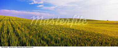 Barley Field, Crossfield, Alberta, Canada    Stock Photo - Premium Rights-Managed, Artist: Roy Ooms, Code: 700-00556582