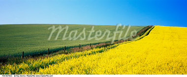 Canola and Wheat Fields, Beiseker, Alberta, Canada    Stock Photo - Premium Rights-Managed, Artist: Roy Ooms, Code: 700-00607631