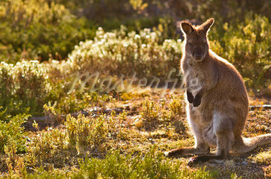 Bennett's Wallaby, Walls of Jerusalem National Park, Tasmania, Australia    Stock Photo - Premium Royalty-Free, Artist: Jochen Schlenker, Code: 600-00865385
