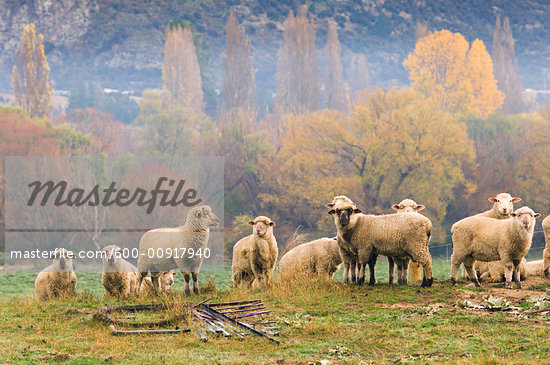 flock of sheep on hill