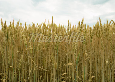 Field of wheat Stock Photo - Premium Royalty-Freenull, Code: 633-01274267