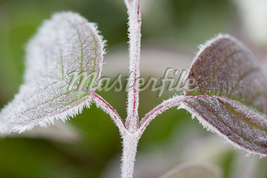 Hoar Frost on Leaves    Stock Photo - Premium Rights-Managed, Artist: J. David Andrews, Code: 700-01296482