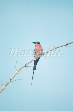 Carmine bee-eater on tree limb, Africa Stock Photo - Premium Royalty-Freenull, Code: 618-01438235