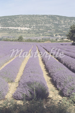 Lavendar fields, Provence, France Stock Photo - Premium Royalty-Freenull, Code: 618-01439276
