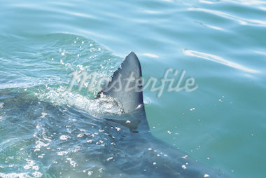 Great white shark (Carcharodon carcharias), dorsal fin above water Stock Photo - Premium Royalty-Freenull, Code: 613-01533998