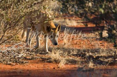 Home search results for australian animals pictures oceania stock