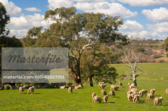 australian sheep ranch