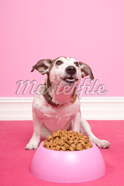 Jack Russell Terrier Eating    Stock Photo - Premium Rights-Managed, Artist: Marie Blum, Code: 700-01716873