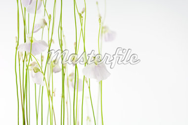 Bladderwort (Utricularia Sandersoni) Stock Photo - Premium Royalty-Freenull, Code: 633-01992658