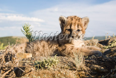 Portrait of Baby Cougar, Montana, USA    Stock Photo - Premium Rights-Managed, Artist: F. Lukasseck, Code: 700-02010897