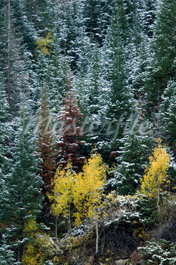 Aspen and pine trees Stock Photo - Premium Royalty-Freenull, Code: 621-02027965