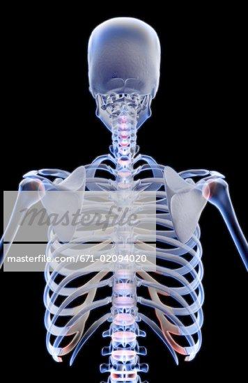 Upper Back Bones 671-02094020w jpgUpper Back Bones