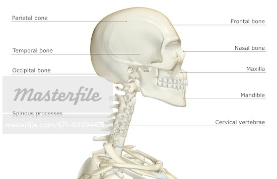 Neck skeleton diagram wiring diagrams schematics bones in your neck image collections human anatomy organs diagram bones in your neck choice image human anatomy organs diagram neck skeleton diagram ccuart Image collections