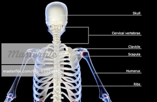 Upper Back Bones 671-02094841w jpgUpper Back Bones
