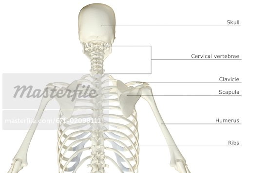 Upper Back Bones 671-02098111w jpgUpper Back Bones