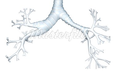 The bronchial tree Stock Photo - Premium Royalty-Freenull, Code: 671-02101489