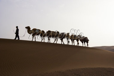 Camel Driver with Camels in Taklimakan Desert, Xinjiang Province, China    Stock Photo - Premium Rights-Managed, Artist: F. Lukasseck, Code: 700-02200919