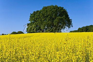 Oak Trees in Canola Field, Selent, Plon, Schleswig-Holstein, Germany    Stock Photo - Premium Rights-Managed, Artist: Moritz Schönberg, Code: 700-02216147