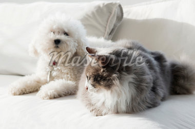 Dog and a cat sitting on a couch    Stock Photo - Premium Rights-Managed, Artist: Glowimages, Code: 837-02379144