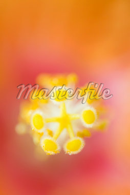 Stamen and anthers of hibiscus, extreme close-up Stock Photo - Premium Royalty-Freenull, Code: 633-02417790