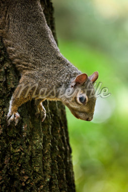 Gray Squirrel    Stock Photo - Premium Royalty-Free, Artist: Gary Gerovac, Code: 600-02428943