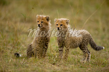 Cheetah Cubs in Field    Stock Photo - Premium Rights-Managed, Artist: Ken & Michelle Dyball, Code: 700-02659775