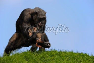 Chimpanzee with Baby    Stock Photo - Premium Rights-Managed, Artist: Raimund Linke, Code: 700-02693873
