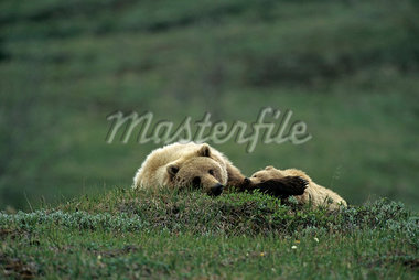 Grizzly Mom & Cub Stoney Hill Denali NP Interior AK summer scenic                                                                                                                                        Stock Photo - Premium Rights-Managed, Artist: AlaskaStock              , Code: 854-02955252