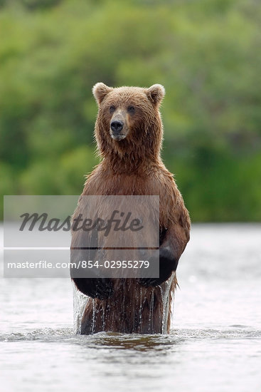 Brown bear sow standing in river fishing for sockeye salmon Katmai National Park southwest Alaska summer                                                                                                 Stock Photo - Premium Rights-Managed, Artist: AlaskaStock              , Code: 854-02955279