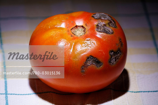 Close-up of Rotten Tomato Stock Photo - Rights-Managed, Artist: Mike Randolph            , Code: 700-03015136