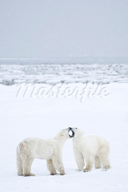 Polar Bears Fighting, Churchill, Manitoba, Canada Stock Photo - Premium Rights-Managed, Artist: Chris Hendrickson        , Code: 700-03017612