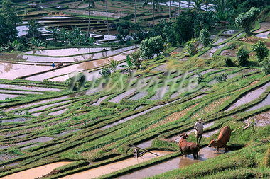 Rice terraces in centre of the island, Bali, Indonesia, Southeast Asia, Asia                                                                                                                             Stock Photo - Premium Rights-Managed, Artist: Robert Harding Images    , Code: 841-03033036