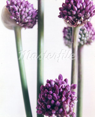 Garlic blooms Stock Photo - Premium Royalty-Freenull, Code: 689-03129871