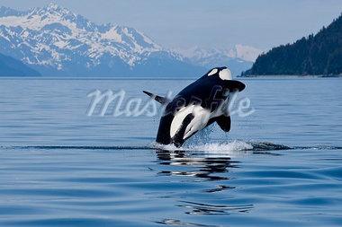 An adult Killer Whale leaps from the calm waters of Lynn Canal in Alaska's Inside Passage. Stock Photo - Premium Rights-Managed, Artist: AlaskaStock, Code: 854-03362001