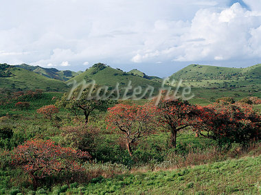 Red Hot Poker trees (Erythrina abyssinica) bloom in the Chyulu Hills,a range of volcanic hills of recent geological origin. Stock Photo - Premium Rights-Managed, Artist: AWL Images, Code: 862-03366205