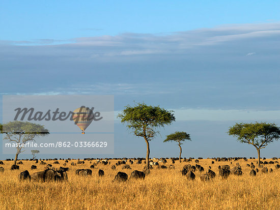 A hot air balloon floating over herds of wildebeest and zebra in the Masai Mara Game Reserve. Stock Photo - Premium Rights-Managed, Artist: AWL Images, Code: 862-03366629