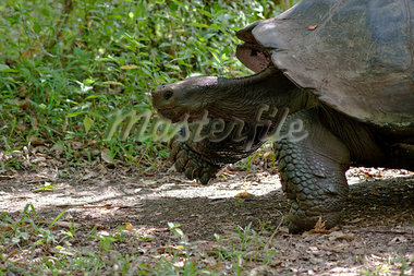 Galapagos Giant Tortoise, Santa Cruz Island, Galapagos Islands, Ecuador Stock Photo - Premium Royalty-Free, Artist: Mark Downey, Code: 600-03439401