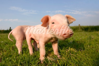 Domestic pig, Huellhorst, Germany, Europe Stock Photo - Premium Rights-Managed, Artist: Robert Harding Images, Code: 841-03505824