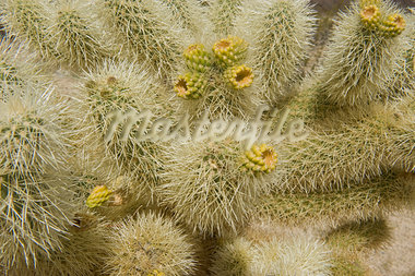 Close-up of Cholla Cactus Stock Photo - Premium Rights-Managed, Artist: David Mendelsohn, Code: 700-03556588