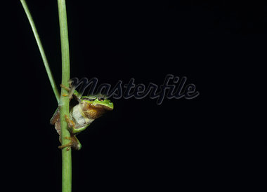 Tree frog balancing on stalk Stock Photo - Premium Royalty-Freenull, Code: 693-03557727
