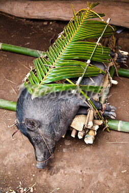 Pig Prepared for Funeral Ceremony in Waihola village, Sumba, Indonesia Stock Photo - Premium Rights-Managed, Artist: R. Ian Lloyd, Code: 700-03665819