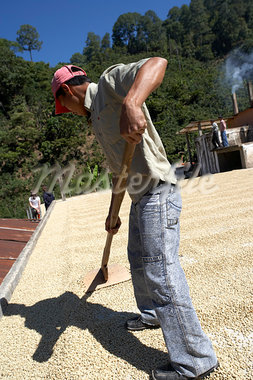 Drying Coffee Beans, Finca Villaure, Huehuetenango, Guatemala Stock Photo - Premium Rights-Managed, Artist: Michael Mahovlich, Code: 700-03686240