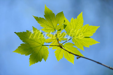 Maple Leaves, Aschaffenburg, Franconia, Bavaria, Germany Stock Photo - Premium Royalty-Free, Artist: Raimund Linke, Code: 600-03697831