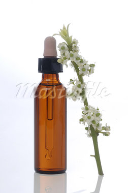 Bach flower remedy European Holly (Ilex aquifolium) Stock Photo - Premium Royalty-Freenull, Code: 689-03733387