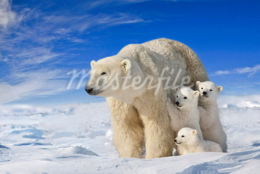 View of Polar Bear sow (Ursus Maritimus) with her triplet cubs on the wind swept plains of Wapusk National Park, Manitoba, Canada, Winter, COMPOSITE Stock Photo - Premium Rights-Managed, Artist: AlaskaStock, Code: 854-03740383