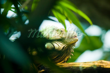 Green Iguana Hiding in Foliage Stock Photo - Premium Rights-Managed, Artist: Bettina Salomon, Code: 700-03762598