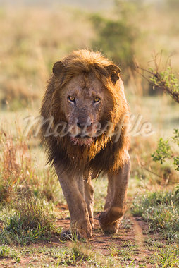 Male Lion, Masai Mara National Reserve, Kenya Stock Photo - Premium Royalty-Free, Artist: Christina Krutz, Code: 600-03814875