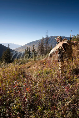 Moose hunter carries a large moose antler rack as he hikes out from his hunt in the Bird Creek drainage area, Chugach National Forest, Chugach Mountains, Southcentral Alaska, Autumn Stock Photo - Premium Rights-Managed, Artist: AlaskaStock, Code: 854-03845039
